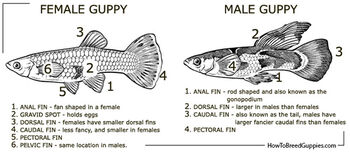 Guppy poecilia reticulata male female anatomy