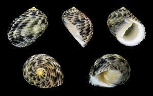 Nerita undata shells
