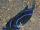 Chelidonura varians velvet blue sea slug.jpg