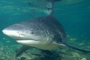 Ganges-shark-swims-pic