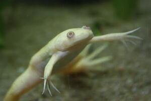Albino X. laevis