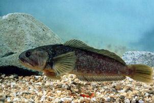 Notothenia rossii marbled rockcod rock cod