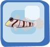 Fish Dracula Goby