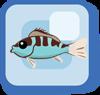 Fish Chalk Basslet