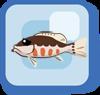 Fish Lantern Basslet
