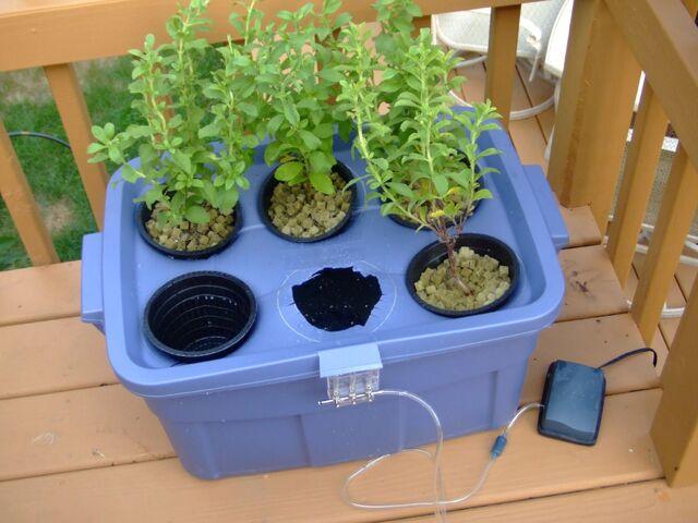 File:Hydroponic Stevia Garden.jpg