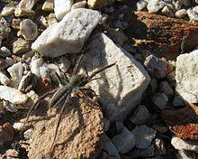 File:220px-Solfugid in veld near Uniondale (Western Cape) 1599.jpg