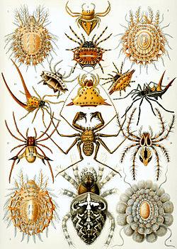 File:250px-Haeckel Arachnida.jpg