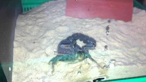 Black Spitting Thicktail Scorpion (Parabuthus Transvaalicus) Vid 5-0