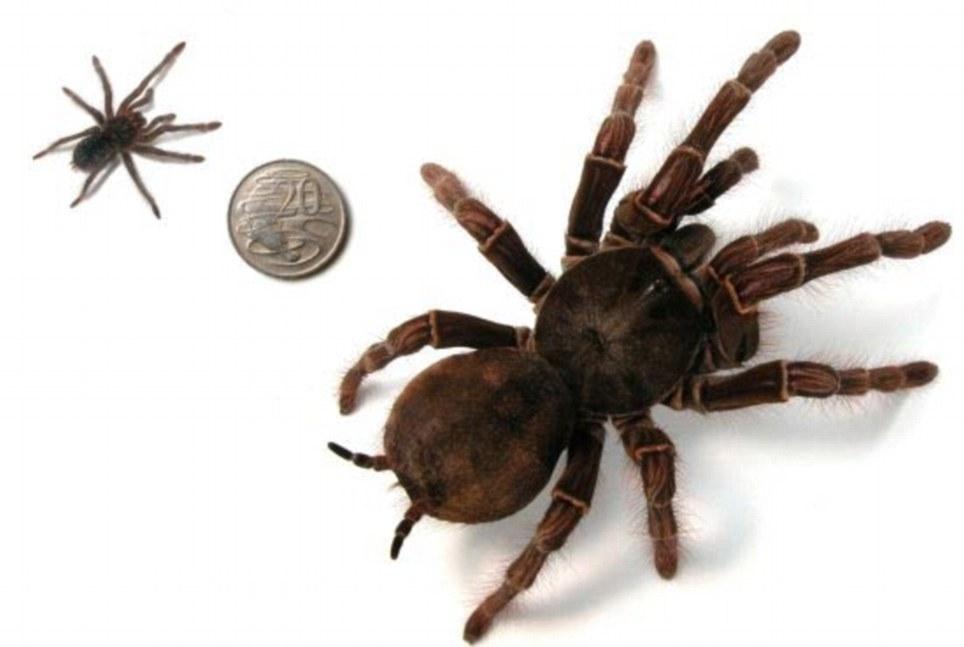 Goliath Birdeater Theraphosa Blondi Arachnipedia Wiki
