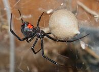 Black Widow Spider 07-04-20