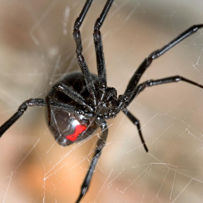 было достаточно фото паука черная вдова брешь биополе человека