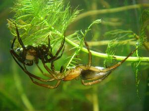Argyroneta aquatica paar