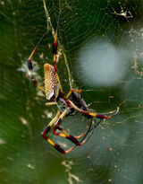 Golden silk orb-weaver (Nephila)