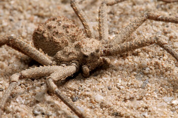 Six Eyes Sand Spider2