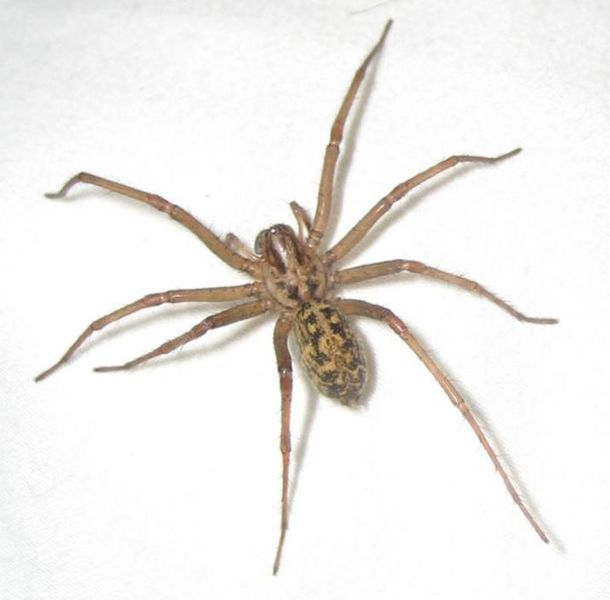 Hobo Spider Tegenaria Agrestis Arachnipedia Wiki Fandom