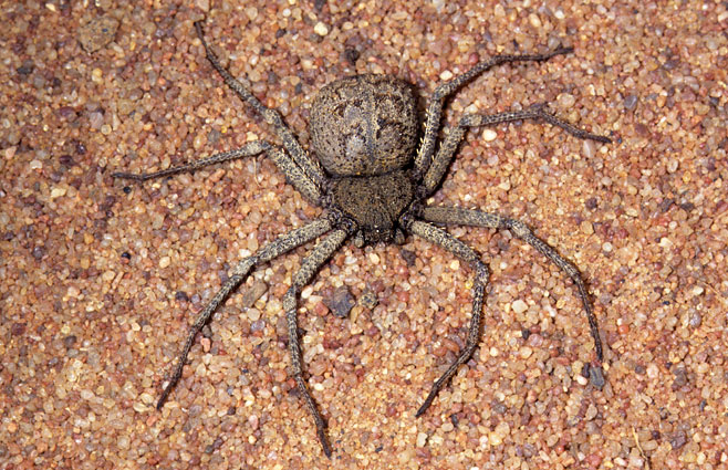 Sicarius Species N L N Nl96 The Six Eyed Sand Spider