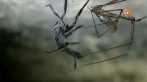 Monster Bug Wars- Cellar Spider Vs