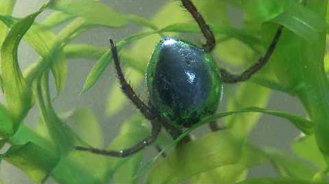 Argyroneta aquatica - The amazing water spider