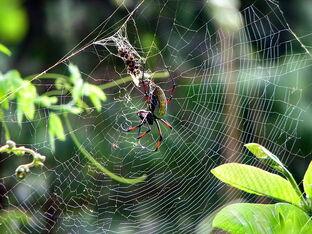 800px-Néphila inaurata Madagascar 01
