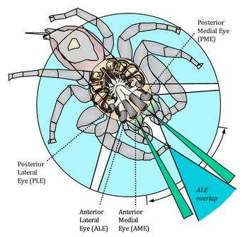 619px-Jumping spider vision David Hill