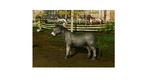 Donkey grey