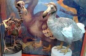 1280px-Oxford Dodo display