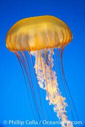 Sea-nettles-chrysaora-fuscescens-14084