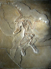 800px-Archaeopteryx lithographica (Berlin specimen)