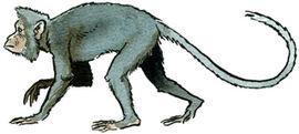 Mesopithecus.