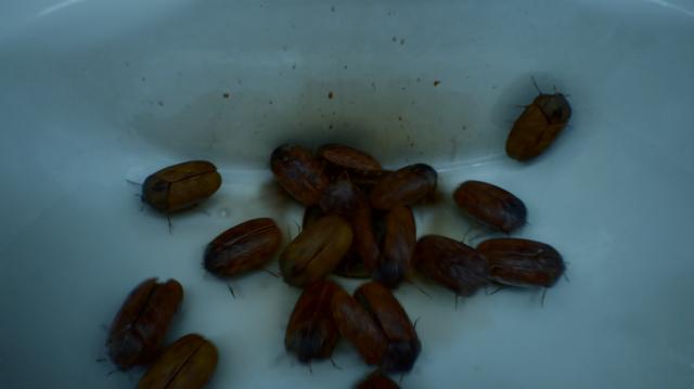 File:Khapra beetles.png