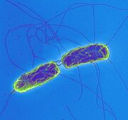 Salmonella-typhi