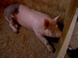 Francine (pig)