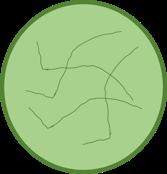 Lettuce Body 2