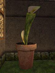 Fertilized Pitcher Plant Live