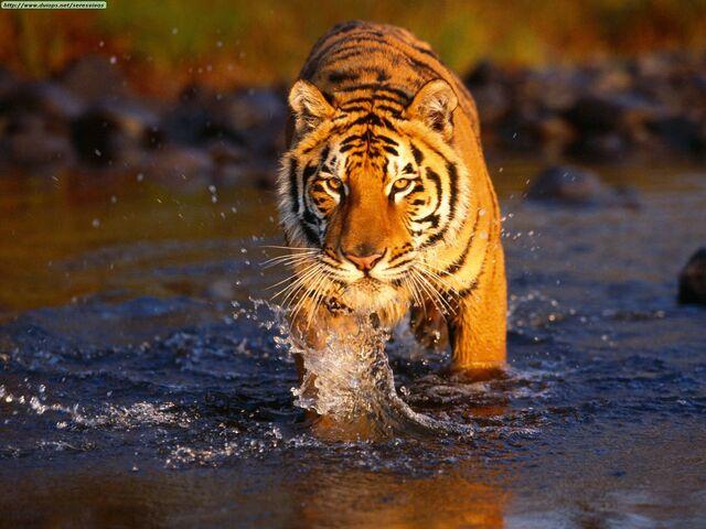 File:Tiger-tiger.jpg