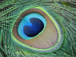 Peacock-feather-green-blue-beautiful