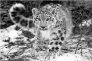 180px-Snow-Leopard