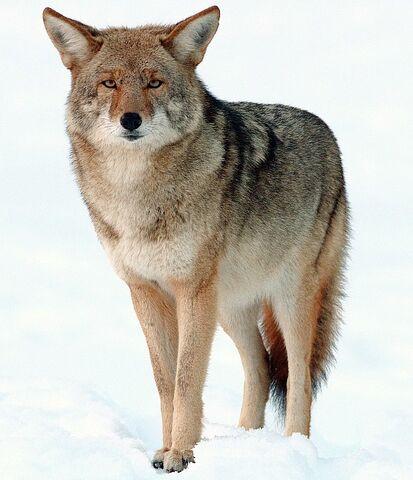 File:2009-Coyote-Yosemite.jpg