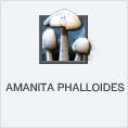 Amanita Phalloides PL