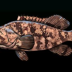伊氏石斑鱼 - 稀有度:非常稀有,尺寸:中