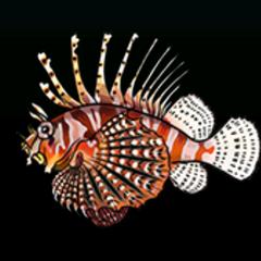 Lionfish - 稀有度:稀有,尺寸:中