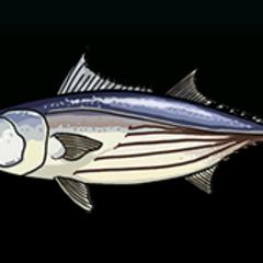 Skipjack Tuna - 稀有度:普通,尺寸:大