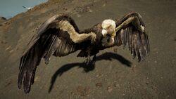 ACOd-vulture