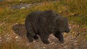 ACOd-bear