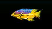 SpanishHogfishACP
