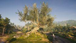 Argolis-OliveTreeofHerakles