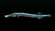 TrumpetfishACP