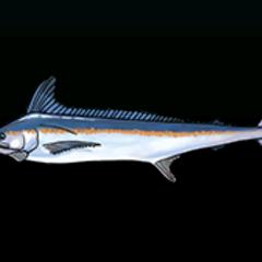 White Marlin - 稀有度:稀有,尺寸:大