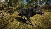 ACOd-wolf